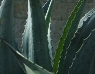 L'aloe vera pour les dents et les gencives