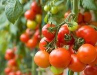 Cultivez vos tomates biologiques